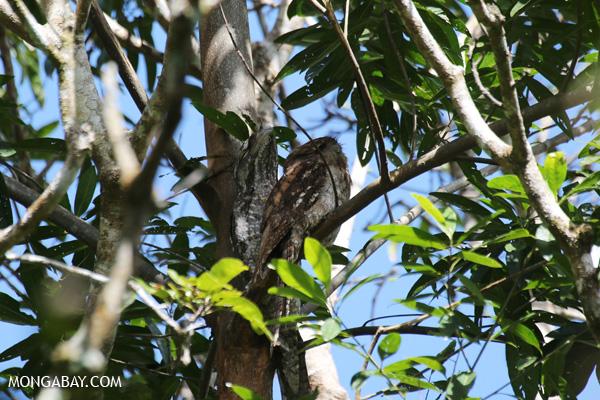 Papuan frogmouth (Podargus papuensis) [australia_fnq_0319]