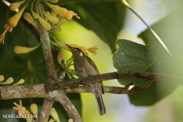 Bird [australia_fnq_0346]