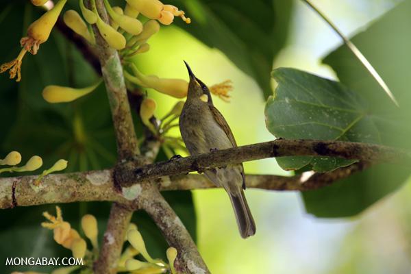 Bird [australia_fnq_0348]