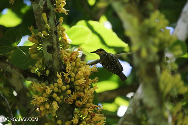Bird [australia_fnq_0363]