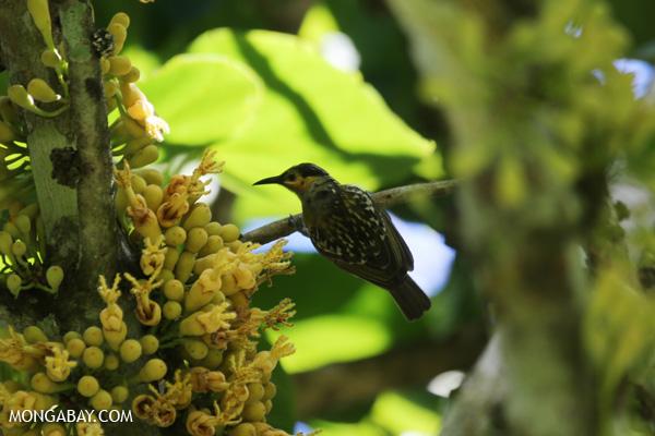 Bird [australia_fnq_0364]