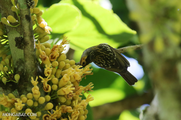 Bird [australia_fnq_0366]