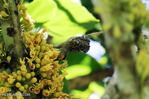 Bird [australia_fnq_0368]