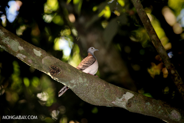 Bar-shouldered Dove (Geopelia humeralis) [australia_fnq_0379]