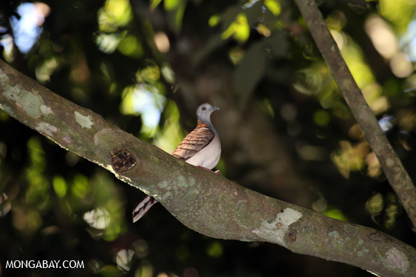 Bar-shouldered Dove (Geopelia humeralis) [australia_fnq_0380]