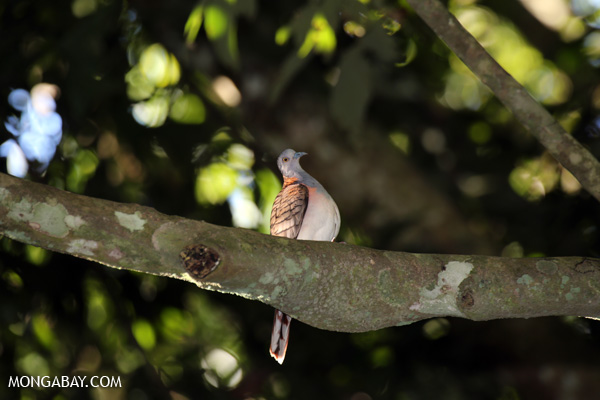 Bar-shouldered Dove (Geopelia humeralis) [australia_fnq_0381]