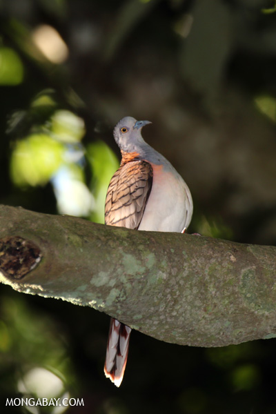 Bar-shouldered Dove (Geopelia humeralis) [australia_fnq_0382]