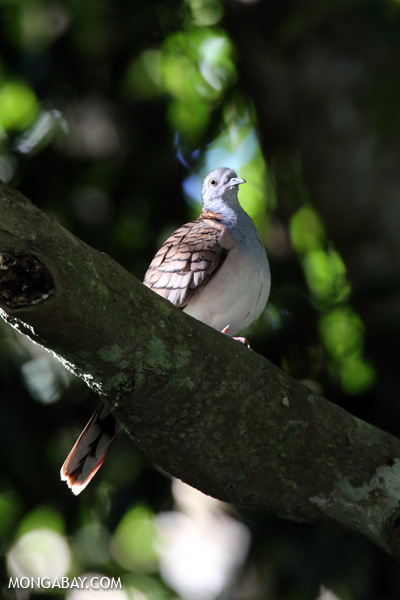 Bar-shouldered Dove (Geopelia humeralis) [australia_fnq_0383]