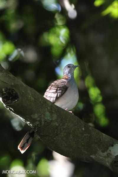 Bar-shouldered Dove (Geopelia humeralis) [australia_fnq_0386]