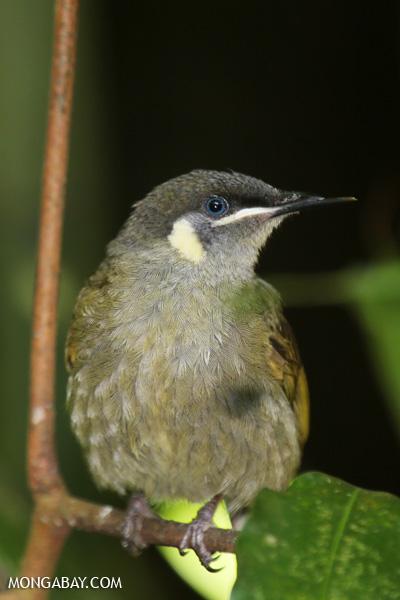 Bird [australia_fnq_0392]