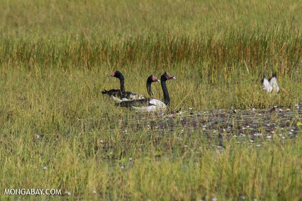 Magpie goose (Anseranas semipalmata) [australia_fnq_0396]
