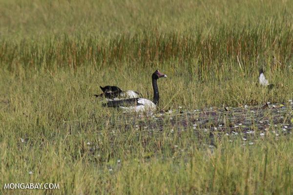 Magpie goose (Anseranas semipalmata) [australia_fnq_0397]