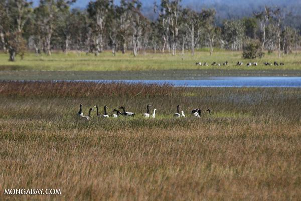 Magpie goose (Anseranas semipalmata) [australia_fnq_0398]