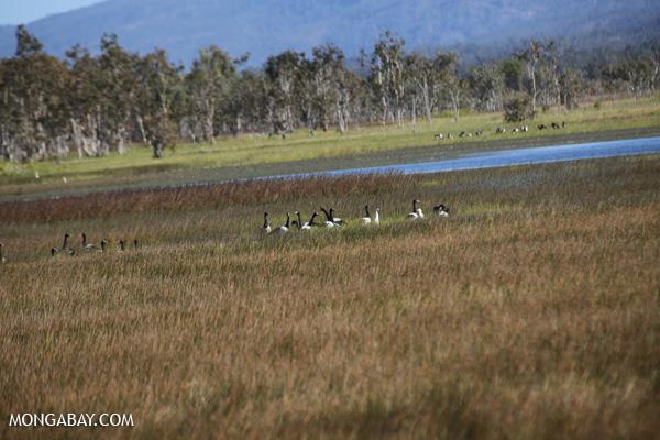 Magpie goose (Anseranas semipalmata) [australia_fnq_0399]