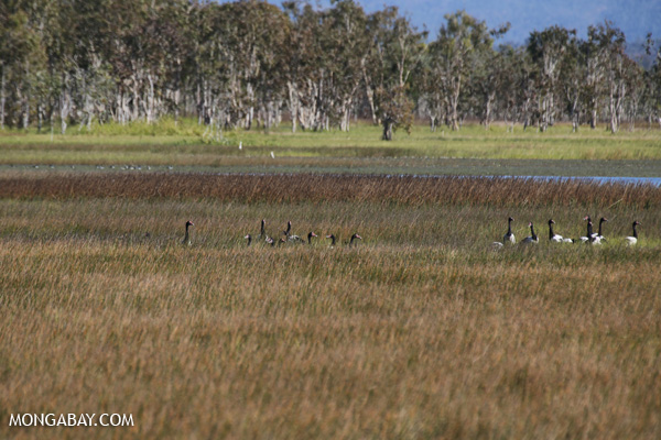 Magpie goose (Anseranas semipalmata) [australia_fnq_0402]