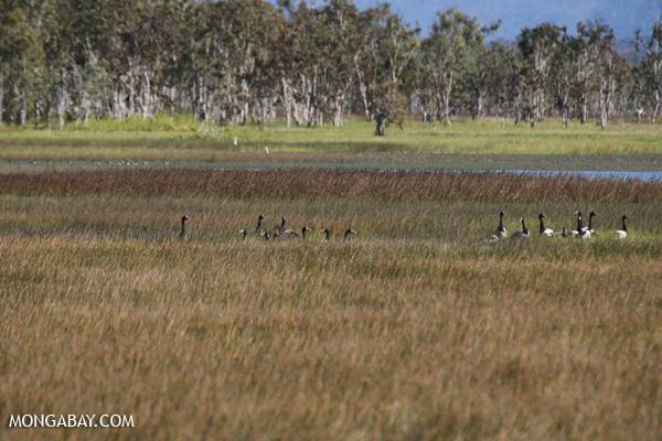 Magpie goose (Anseranas semipalmata) [australia_fnq_0403]