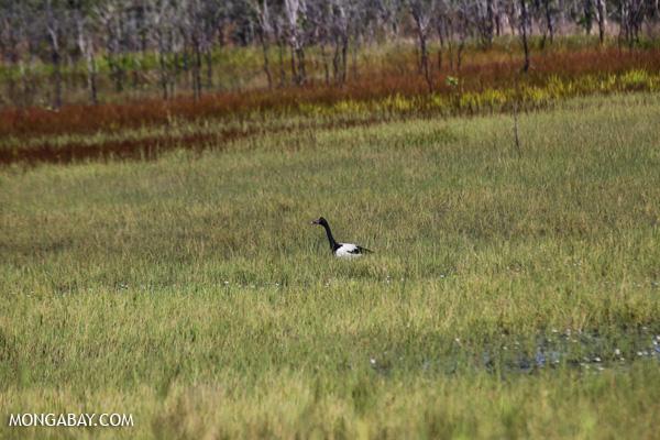 Magpie goose (Anseranas semipalmata) [australia_fnq_0405]