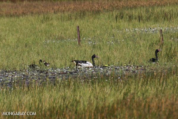 Magpie goose (Anseranas semipalmata) [australia_fnq_0409]
