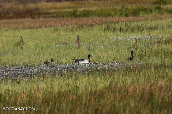 Magpie goose (Anseranas semipalmata) [australia_fnq_0410]