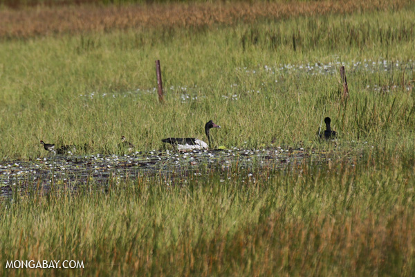 Magpie goose (Anseranas semipalmata) [australia_fnq_0411]