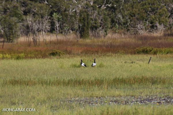 Magpie goose (Anseranas semipalmata) [australia_fnq_0412]