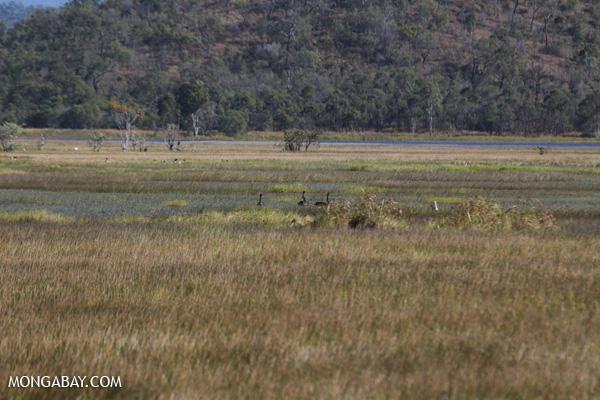 Black swans in Australia