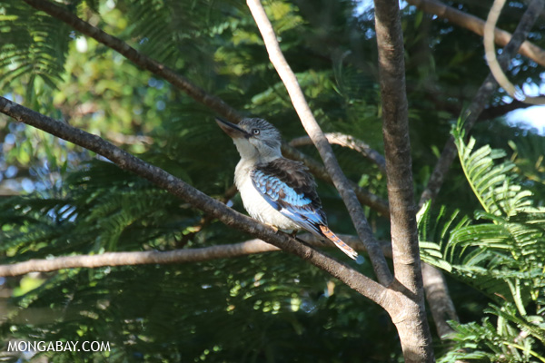 Blue-winged kookaburra (Dacelo leachii) [australia_fnq_0435]