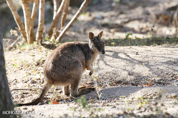 Mareeba Rock Wallaby [australia_fnq_0458]