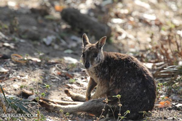 Mareeba Rock Wallaby [australia_fnq_0460]
