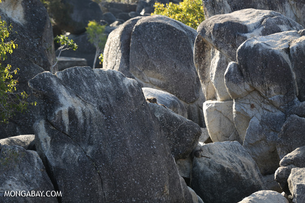 Mareeba rock-wallaby (Petrogale mareeba) [australia_fnq_0465]