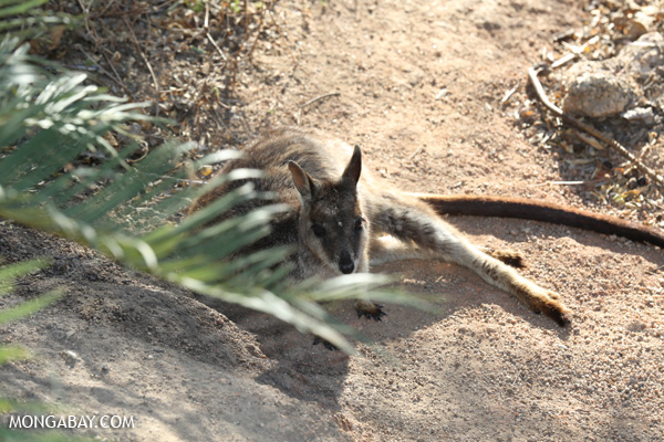 Mareeba Rock Wallaby [australia_fnq_0471]