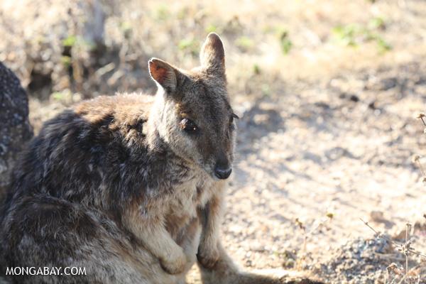 Mareeba Rock Wallaby [australia_fnq_0473]
