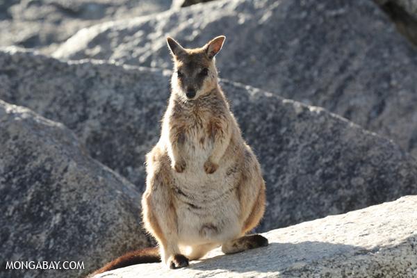 Mareeba rock-wallaby (Petrogale mareeba) [australia_fnq_0496]