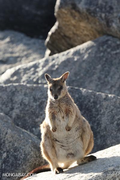 Mareeba Rock Wallaby [australia_fnq_0497]