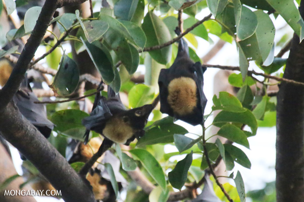 Black flying fox (Pteropus alecto) [australia_fnq_0603]