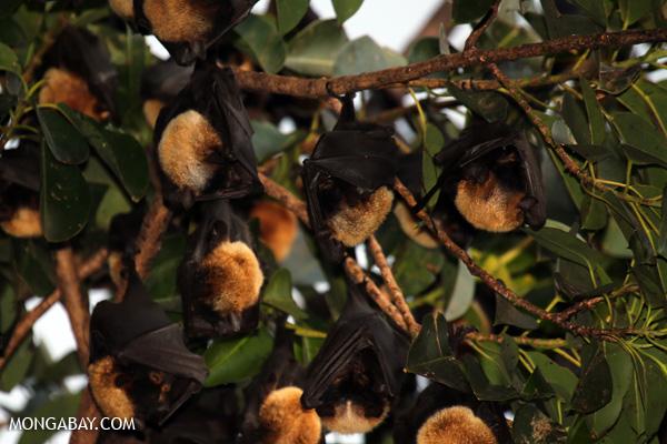 Black flying fox (Pteropus alecto) [australia_fnq_0612]