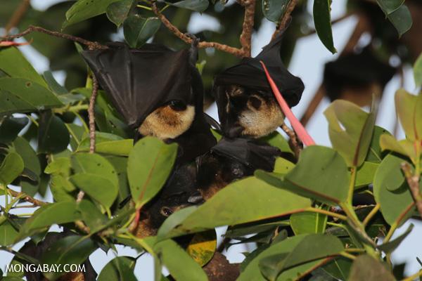 Black flying fox (Pteropus alecto) [australia_fnq_0615]
