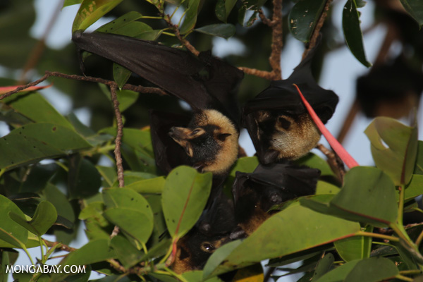 Black flying fox (Pteropus alecto) [australia_fnq_0616]