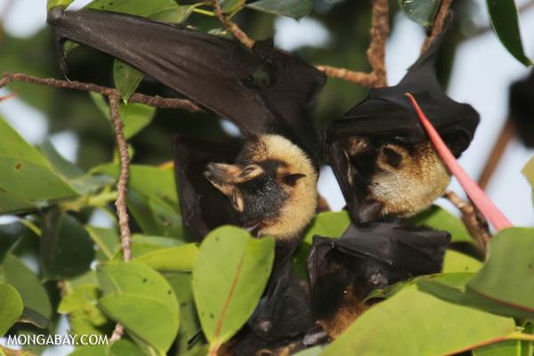 Black flying fox (Pteropus alecto) [australia_fnq_0617]