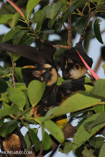 Black flying fox (Pteropus alecto) [australia_fnq_0620]