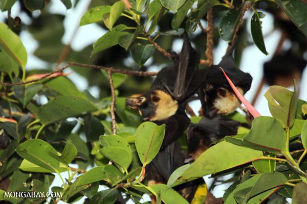 Black flying fox (Pteropus alecto) [australia_fnq_0621]