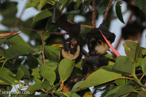 Black flying fox (Pteropus alecto) [australia_fnq_0622]
