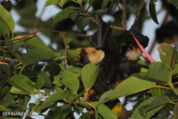 Black flying fox (Pteropus alecto) [australia_fnq_0627]