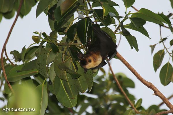 Black flying fox (Pteropus alecto) [australia_fnq_0632]