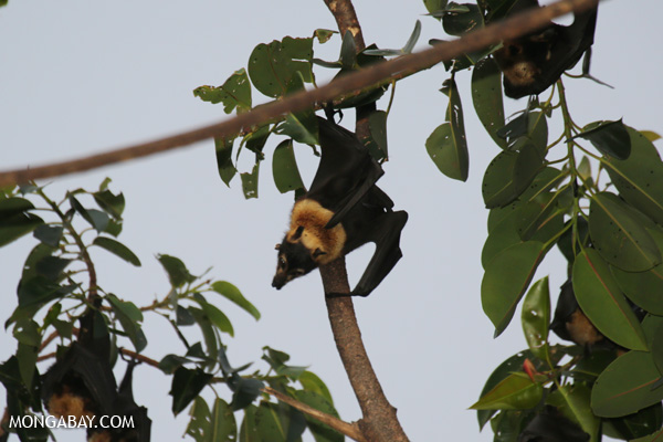 Black flying fox (Pteropus alecto) [australia_fnq_0646]