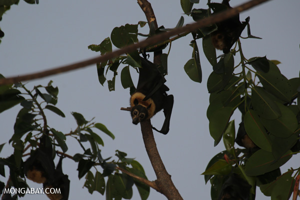 Black flying fox (Pteropus alecto) [australia_fnq_0647]