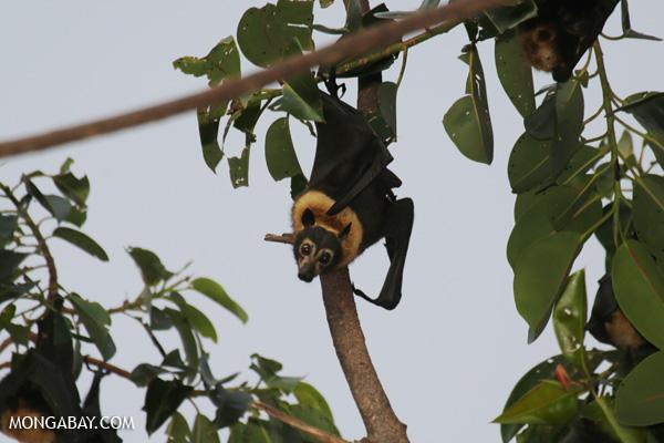 Black flying fox (Pteropus alecto) [australia_fnq_0648]