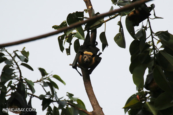 Black flying fox (Pteropus alecto) [australia_fnq_0653]