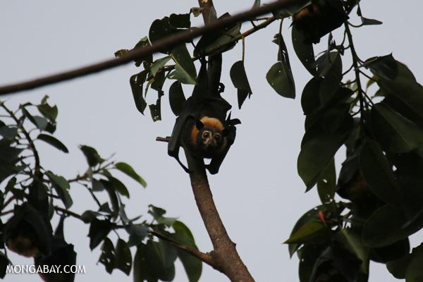Black flying fox (Pteropus alecto) [australia_fnq_0654]