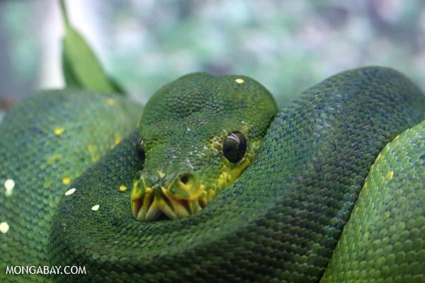 Green tree python (Morelia viridis) [australia_fnq_0707]